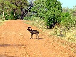 Wilddog wildhund