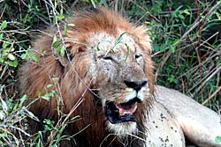 Satter löwe in der nähe des shonga buschcs